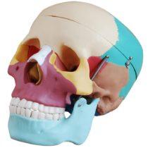 66fit Life Size Human Skull Anatomical Model Painted Bones – Medical Training Teaching Aid